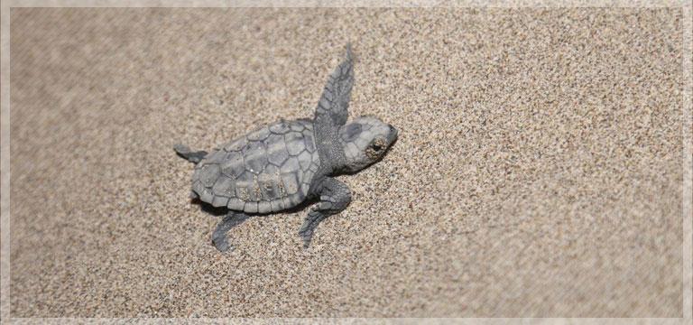 Deniz kaplumbağası için koruma